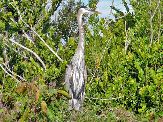 A Great Blue Heron resting on the edge of Mahogany Hammock