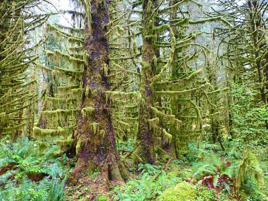 Thick hemlock forests on the Sam's River Loop