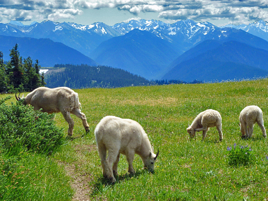 A family of Mountain Goats feeds in the meadows atop Hurricane Hill (5,750')